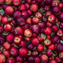 apple farming business