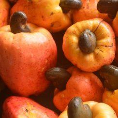 how to start cashew farming