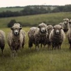 sheep farming plan