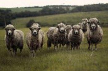 sheep farming plan