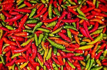 chilli farming business plan