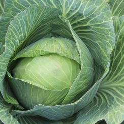 cabbage cultivation business plan