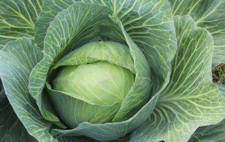 cabbage farming business plan